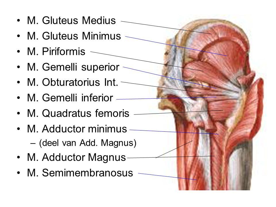 M. Gluteus Medius M. Gluteus Minimus M. Piriformis M. Gemelli superior