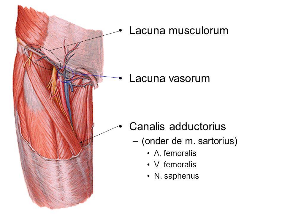 Lacuna musculorum Lacuna vasorum Canalis adductorius