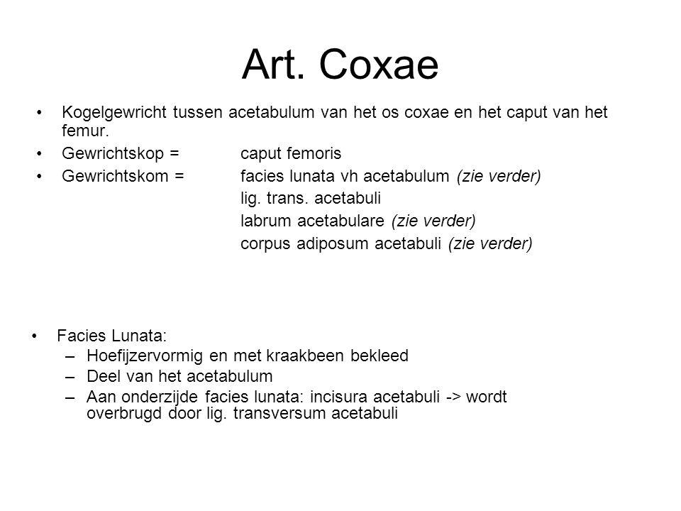 Art. Coxae Kogelgewricht tussen acetabulum van het os coxae en het caput van het femur. Gewrichtskop = caput femoris.