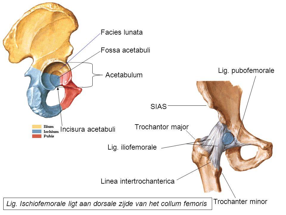 Facies lunata Fossa acetabuli. Lig. pubofemorale. Acetabulum. SIAS. Trochantor major. Incisura acetabuli.