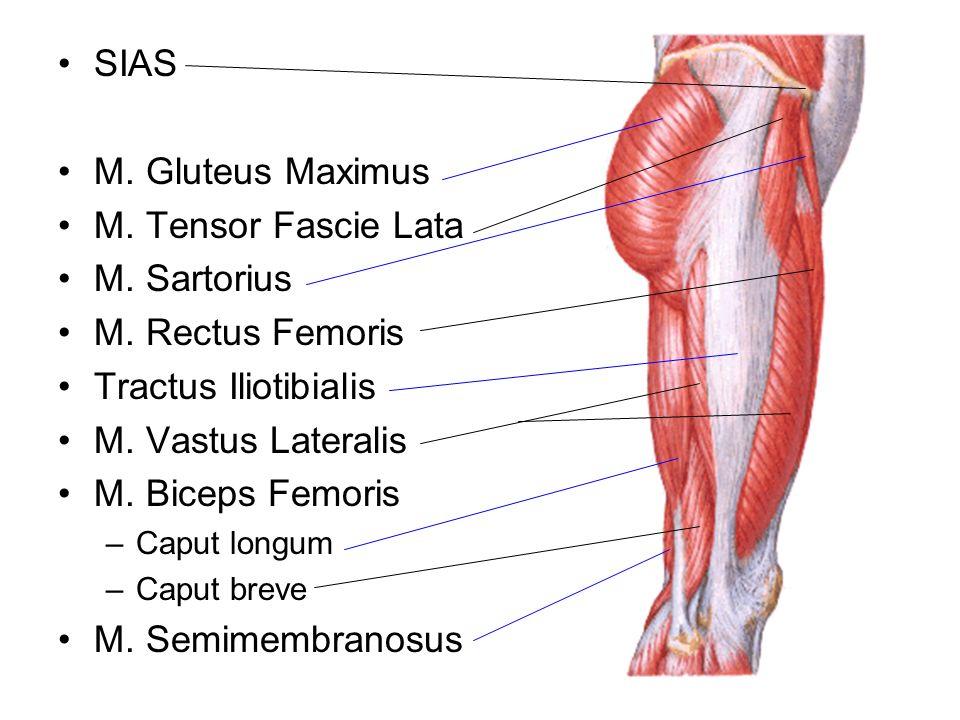 SIAS M. Gluteus Maximus M. Tensor Fascie Lata M. Sartorius