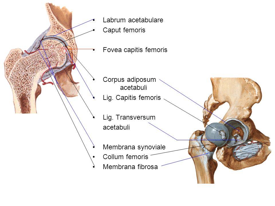 Labrum acetabulare Caput femoris. Fovea capitis femoris. Corpus adiposum acetabuli. Lig. Capitis femoris.