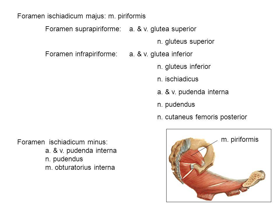 Foramen ischiadicum majus: m. piriformis