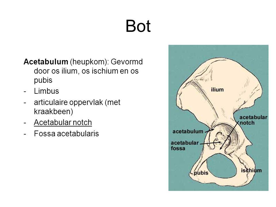Bot Acetabulum (heupkom): Gevormd door os ilium, os ischium en os pubis. Limbus. articulaire oppervlak (met kraakbeen)