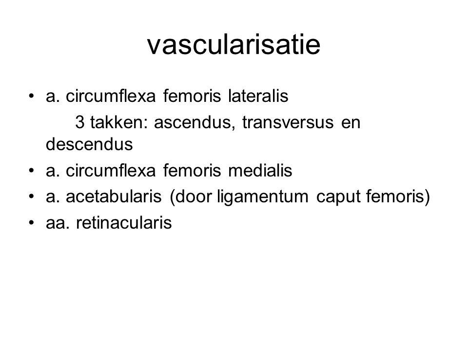 vascularisatie a. circumflexa femoris lateralis