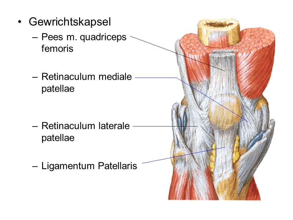Gewrichtskapsel Pees m. quadriceps femoris