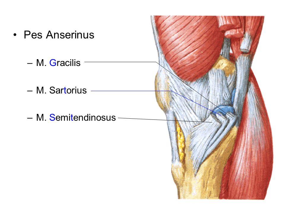 Pes Anserinus M. Gracilis M. Sartorius M. Semitendinosus