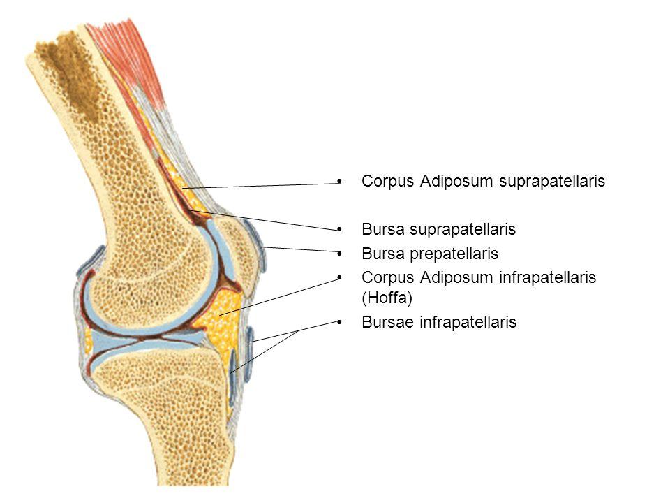 Corpus Adiposum suprapatellaris
