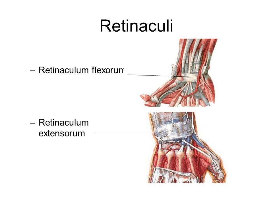 Retinaculi Retinaculum flexorum Retinaculum extensorum