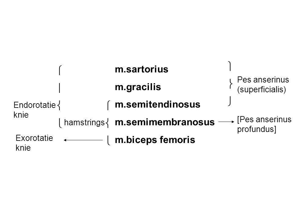  m.sartorius   m.gracilis   m.semitendinosus  m.semimembranosus