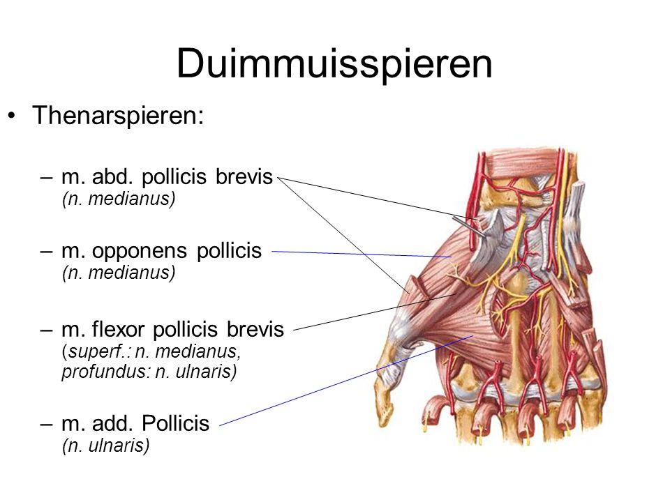 Duimmuisspieren Thenarspieren: m. abd. pollicis brevis (n. medianus)