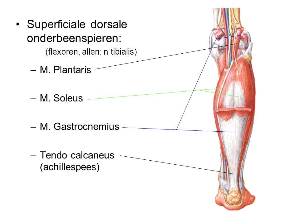 Superficiale dorsale onderbeenspieren:
