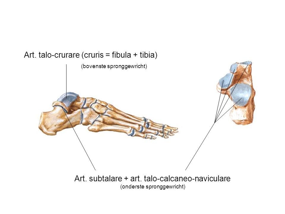 Art. talo-crurare (cruris = fibula + tibia)