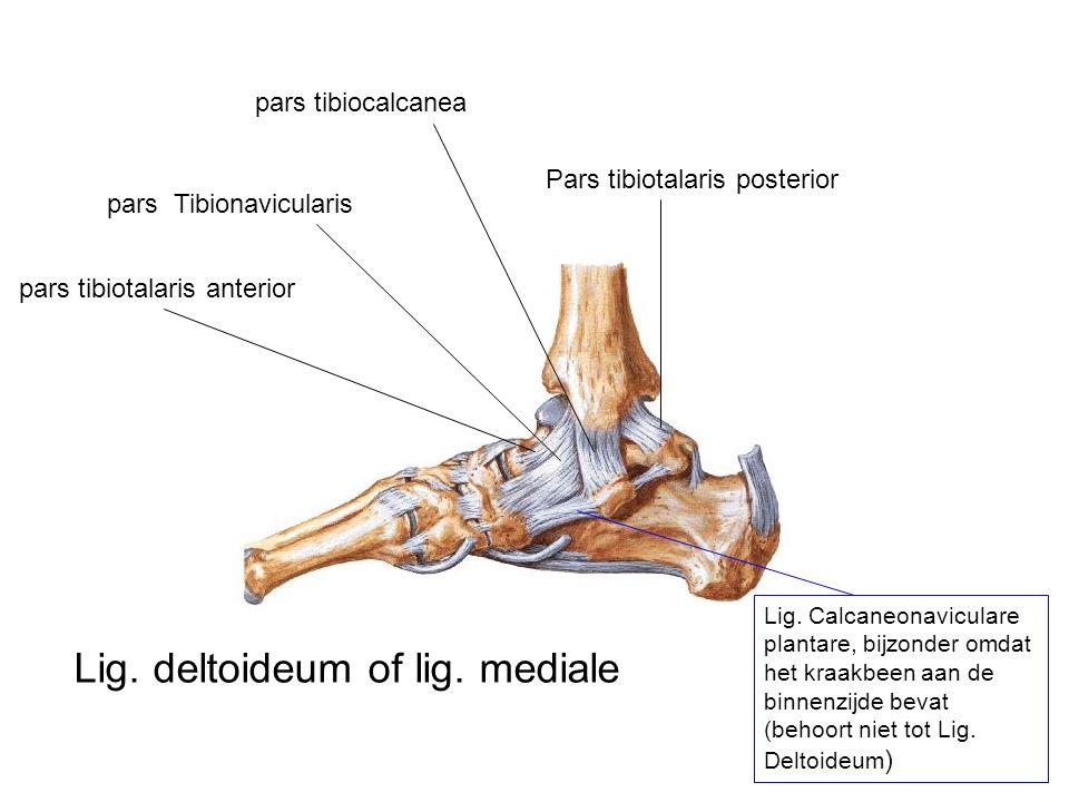 Lig. deltoideum of lig. mediale