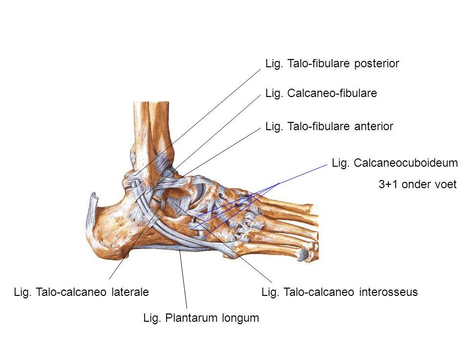 Lig. Talo-fibulare posterior