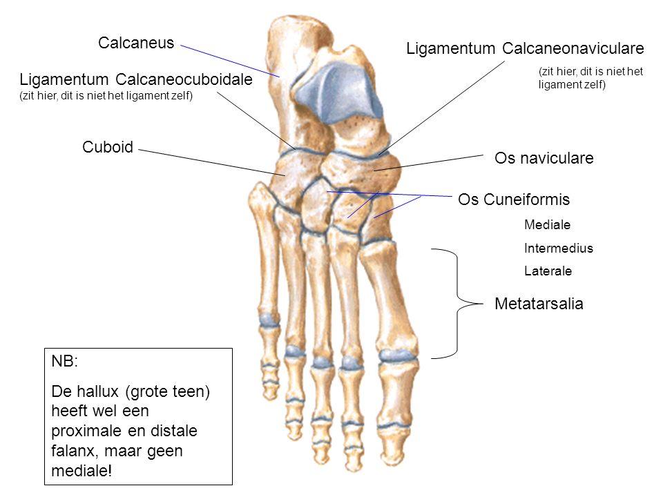 Ligamentum Calcaneonaviculare