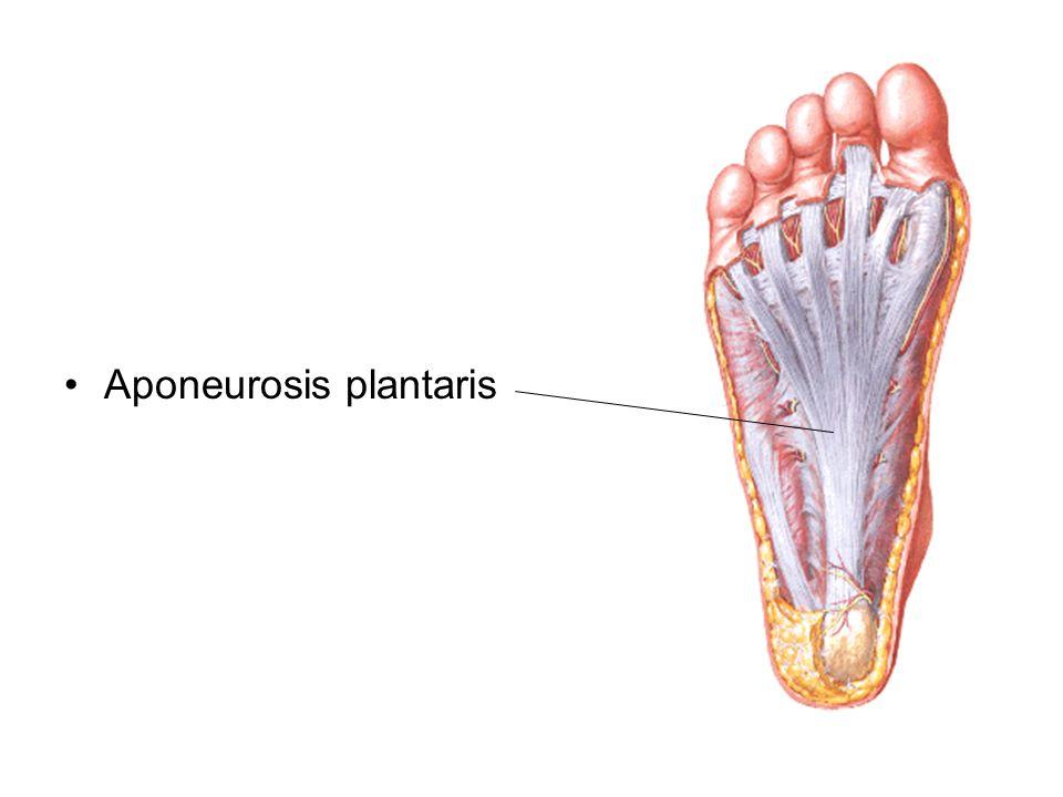 Aponeurosis plantaris