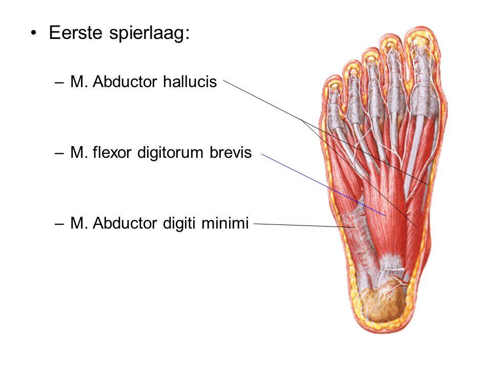Eerste spierlaag: M. Abductor hallucis M. flexor digitorum brevis