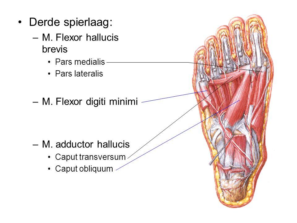Derde spierlaag: M. Flexor hallucis brevis M. Flexor digiti minimi