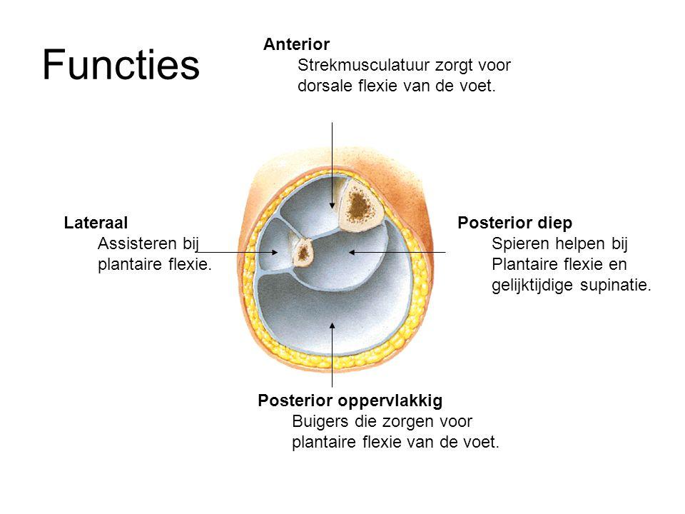Functies Anterior. Strekmusculatuur zorgt voor dorsale flexie van de voet. Lateraal. Assisteren bij plantaire flexie.