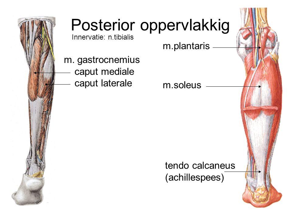 Niedlich Plantaraponeurose Anatomie Ideen - Anatomie Ideen - finotti ...