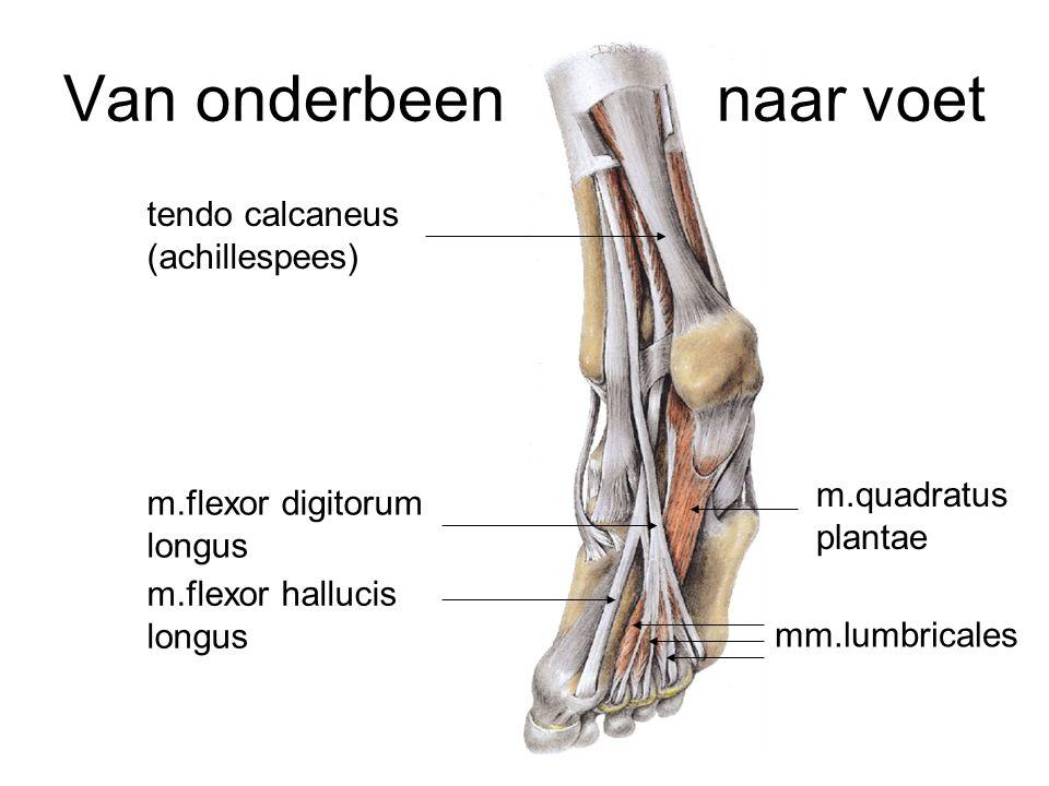Van onderbeen naar voet