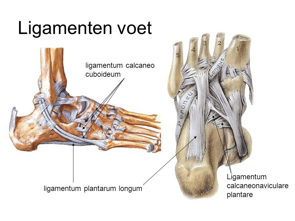 Ligamenten voet ligamentum calcaneo cuboideum Ligamentum