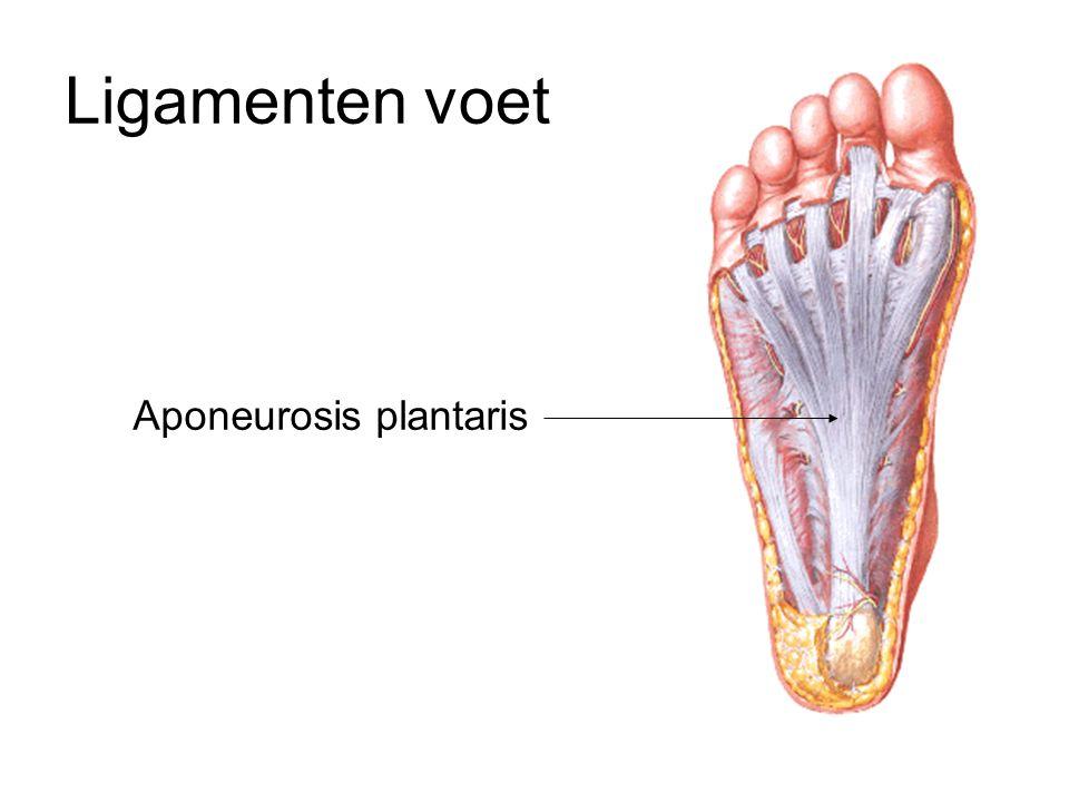 Ligamenten voet Aponeurosis plantaris