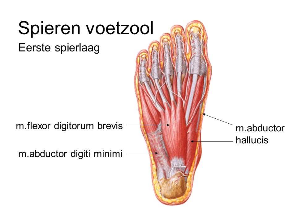 Spieren voetzool Eerste spierlaag m.flexor digitorum brevis m.abductor