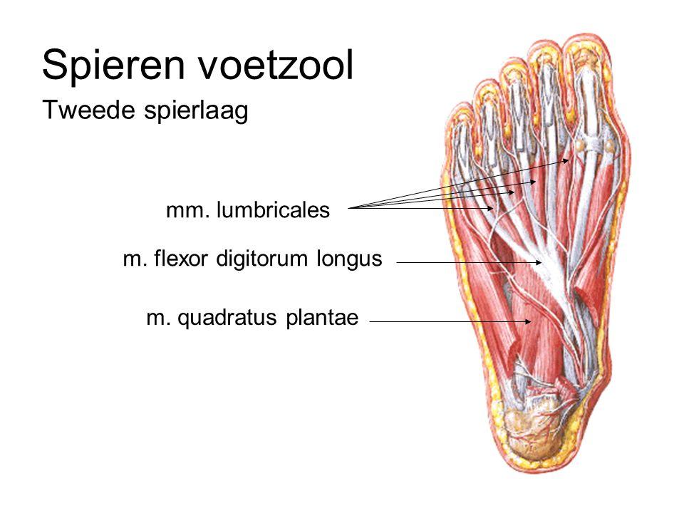 Spieren voetzool Tweede spierlaag mm. lumbricales