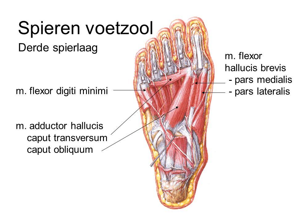 Spieren voetzool Derde spierlaag m. flexor hallucis brevis