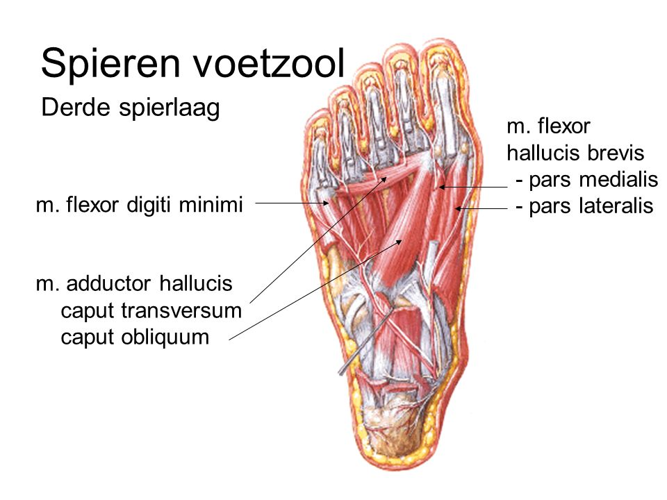 Großzügig Ellenbogengelenk Anatomie Ppt Galerie - Anatomie Ideen ...