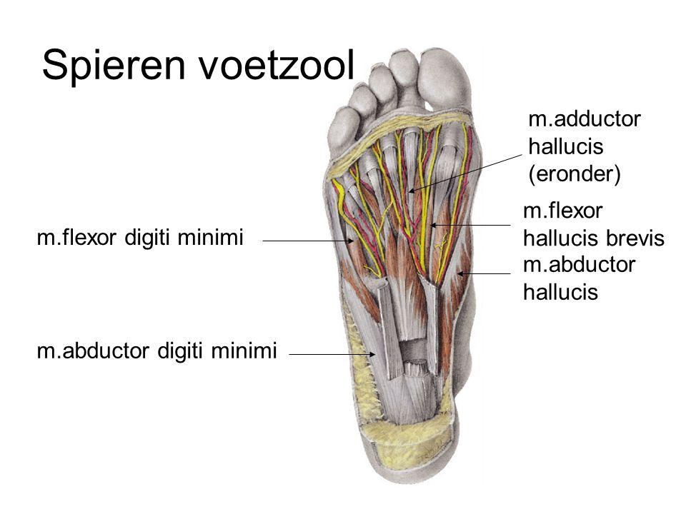 Spieren voetzool m.adductor hallucis (eronder) m.flexor