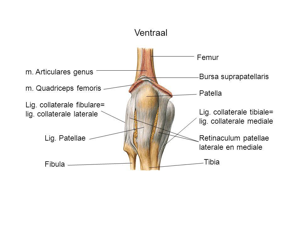 Ventraal Femur m. Articulares genus Bursa suprapatellaris