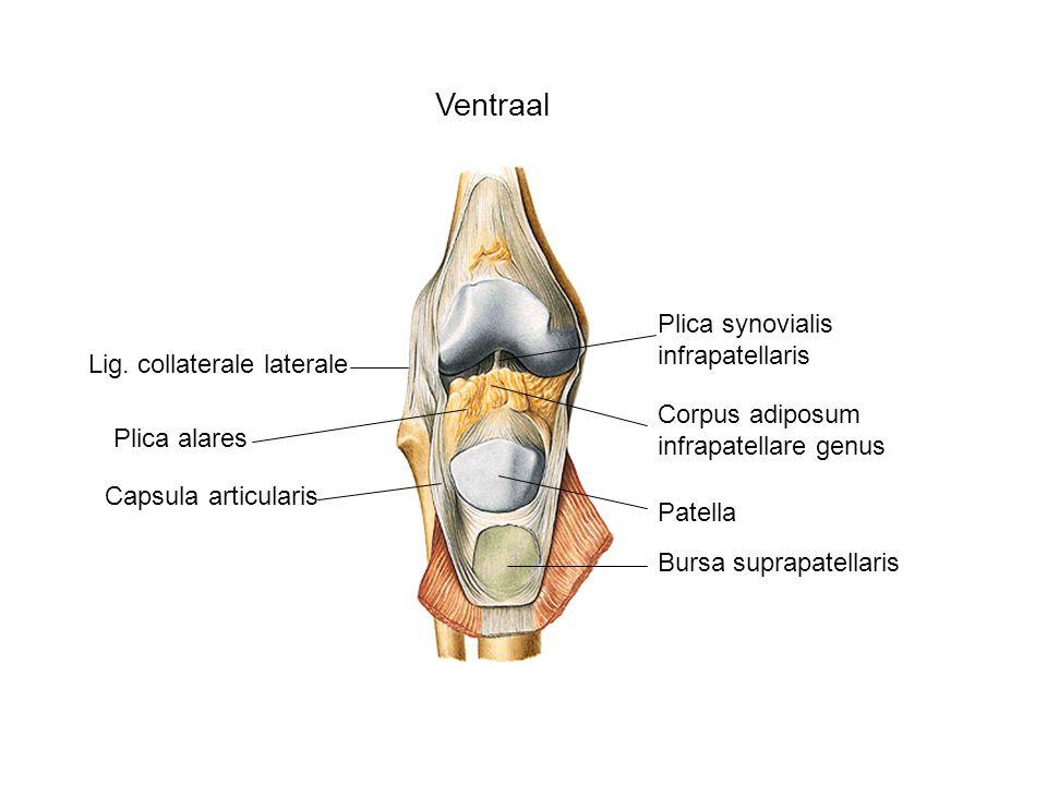Ventraal Plica synovialis infrapatellaris Lig. collaterale laterale