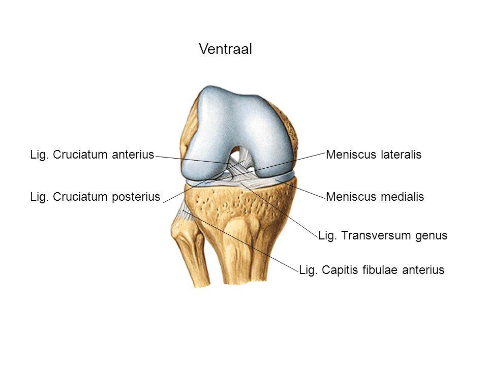 Ventraal Lig. Cruciatum anterius Meniscus lateralis