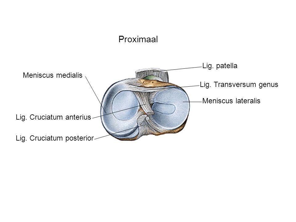 Proximaal Lig. patella Meniscus medialis Lig. Transversum genus