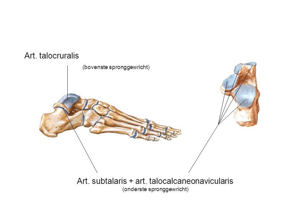 Art. talocruralis (bovenste spronggewricht) Art.
