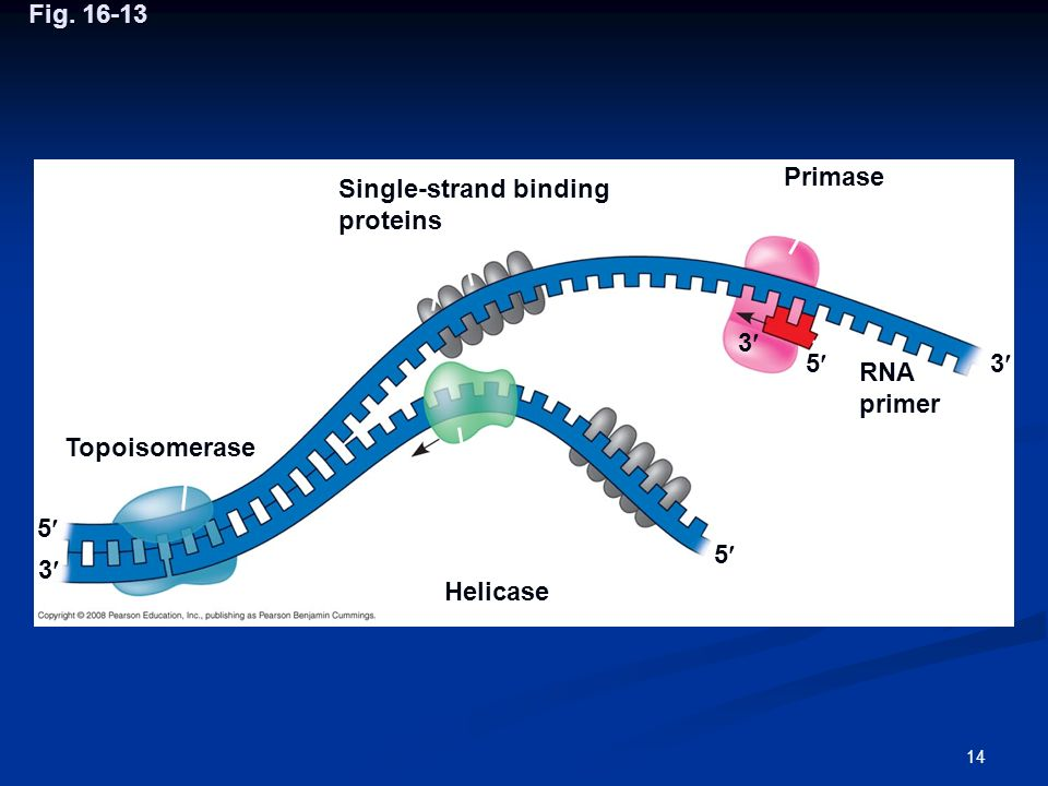 Fig. 16-13 Primase. Single-strand binding proteins. 3 5 3 RNA primer. Topoisomerase. 5 5