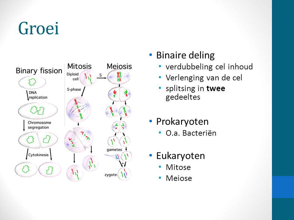 Groei Binaire deling Prokaryoten Eukaryoten verdubbeling cel inhoud
