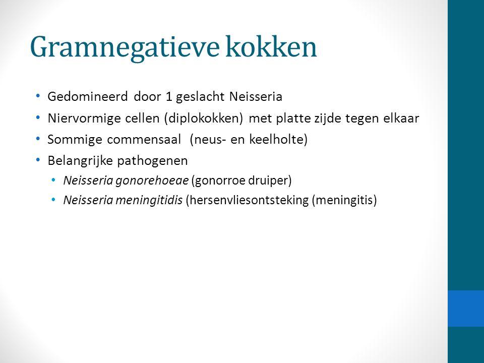 Gramnegatieve kokken Gedomineerd door 1 geslacht Neisseria