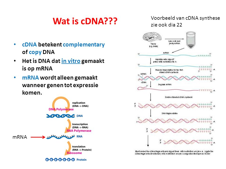 Wat is cDNA cDNA betekent complementary of copy DNA