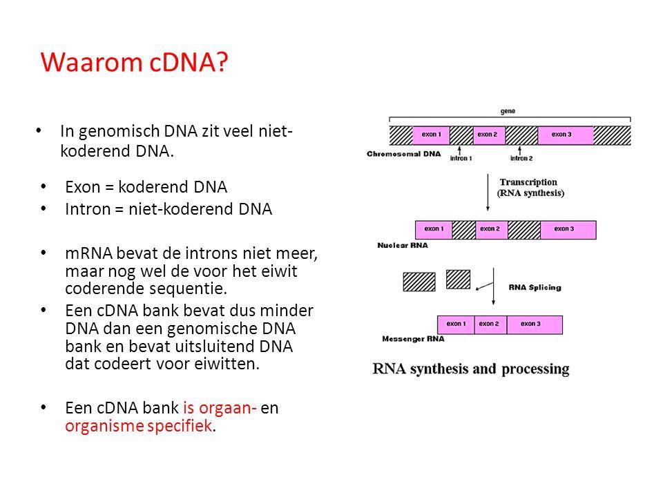 Waarom cDNA In genomisch DNA zit veel niet-koderend DNA.