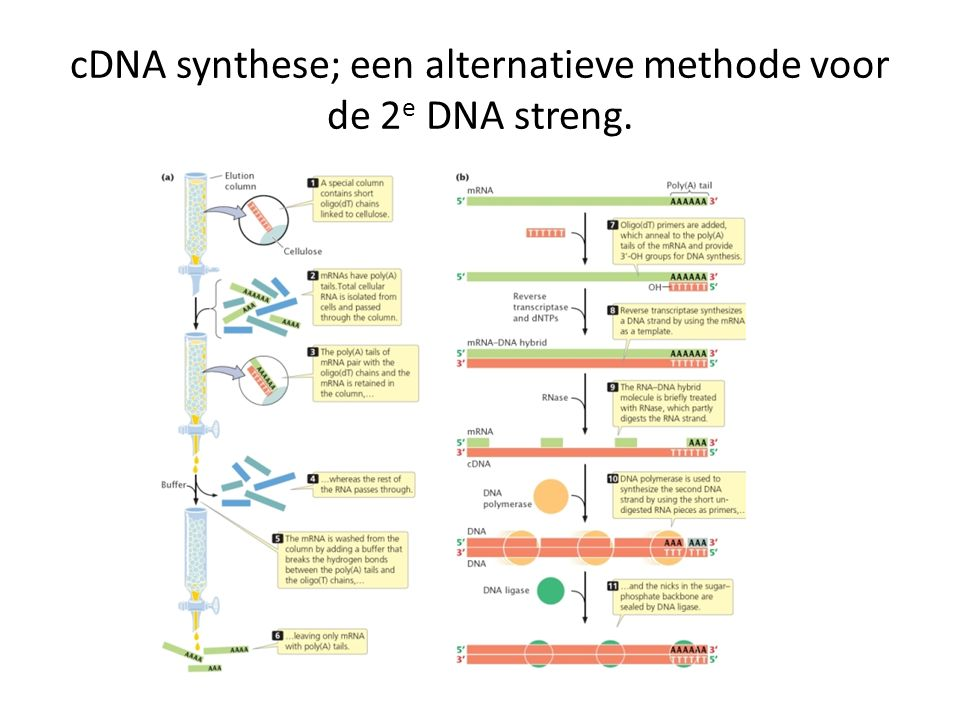 cDNA synthese; een alternatieve methode voor de 2e DNA streng.