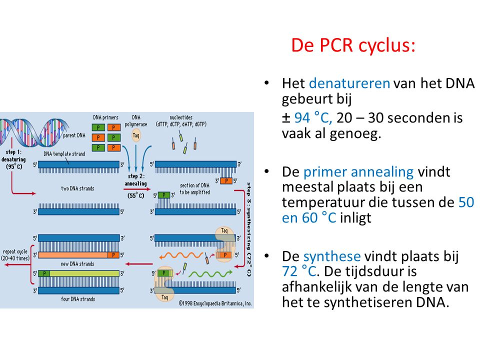 De PCR cyclus: Het denatureren van het DNA gebeurt bij