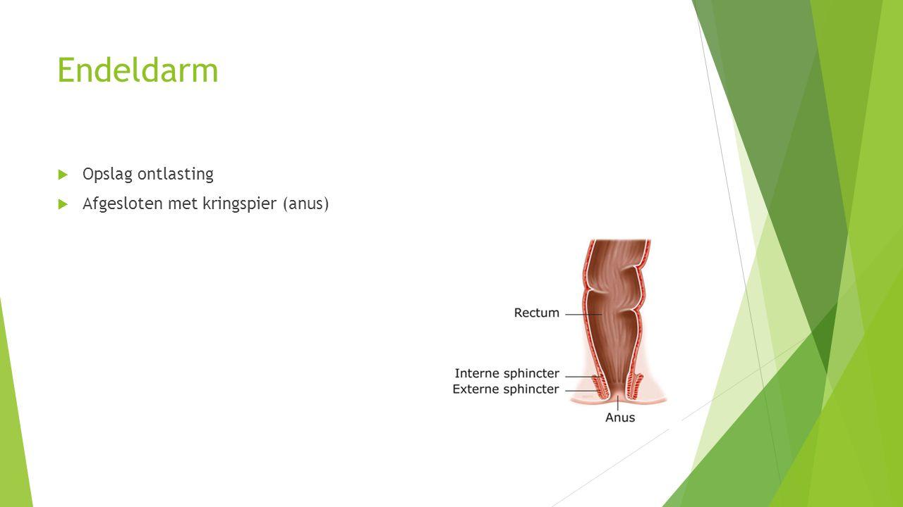 Endeldarm Opslag ontlasting Afgesloten met kringspier (anus)