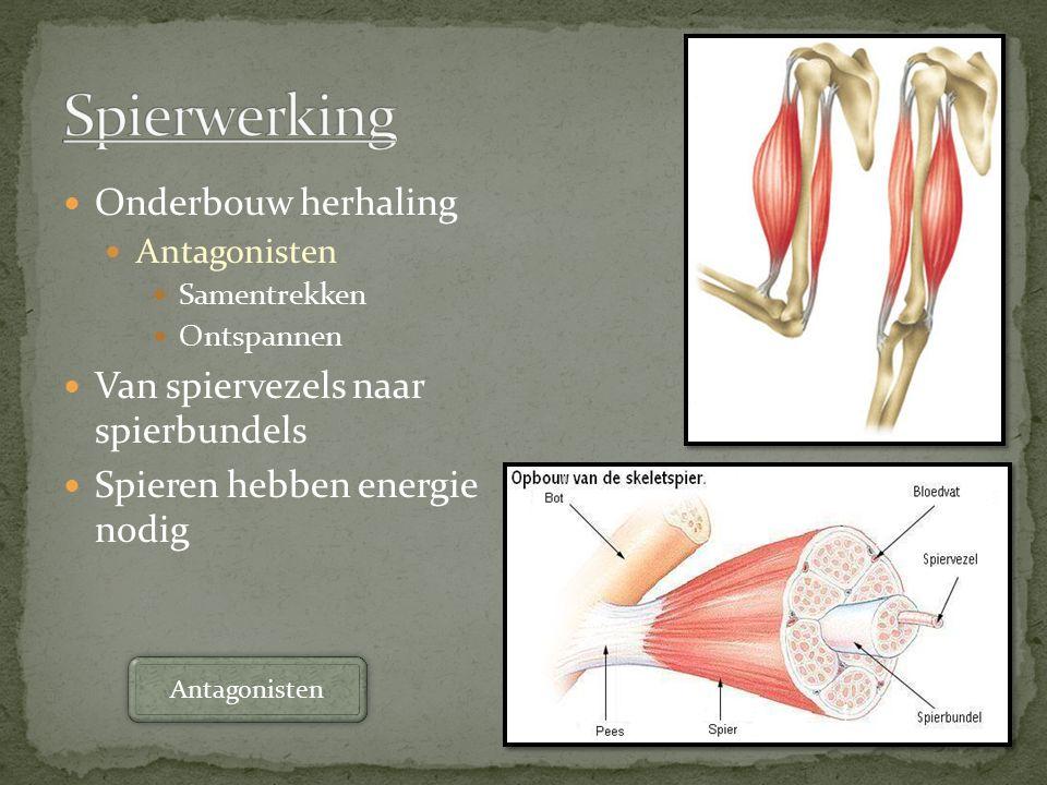 Spierwerking Onderbouw herhaling Van spiervezels naar spierbundels