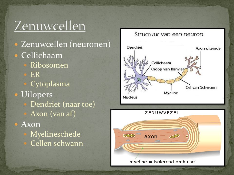 Zenuwcellen Zenuwcellen (neuronen) Cellichaam Uilopers Axon Ribosomen