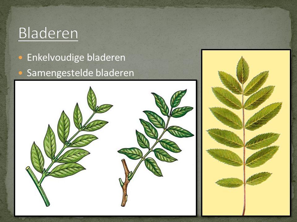 Bladeren Enkelvoudige bladeren Samengestelde bladeren