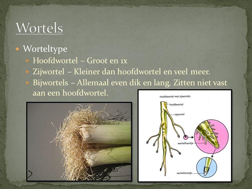 Wortels Worteltype Hoofdwortel – Groot en 1x